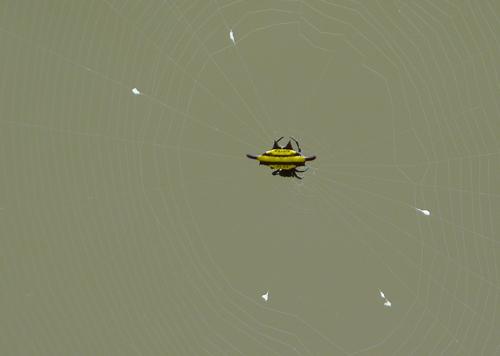 Another strange unidentified spider!