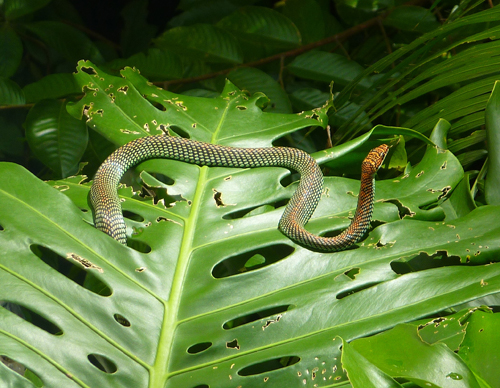 A Paradise 'flying' tree snake
